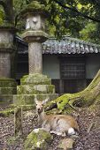 Deer at Kasuga a major Shinto shrine in Nara Japan poster