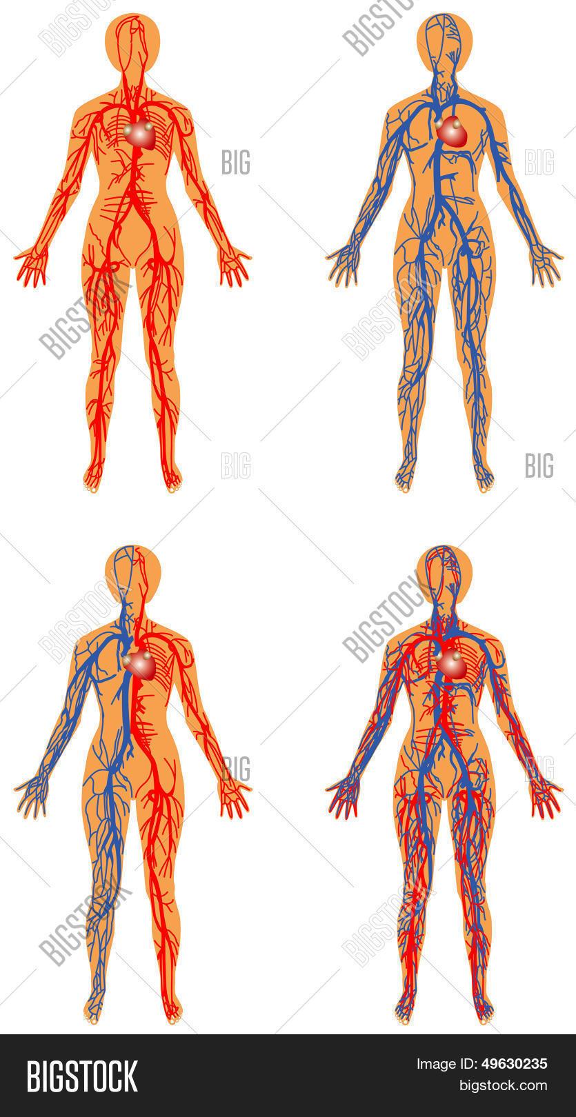 Human Vascular System Vector Photo Free Trial Bigstock