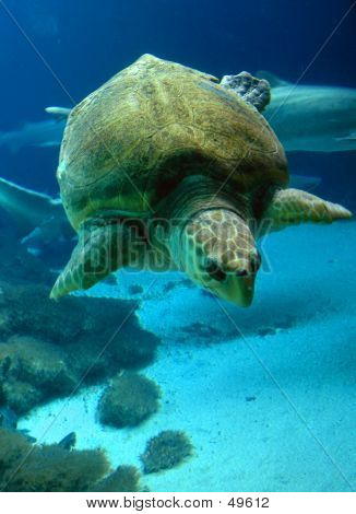 beautiful sea turtle swimming / diving under water