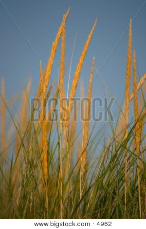 Dune Grass3