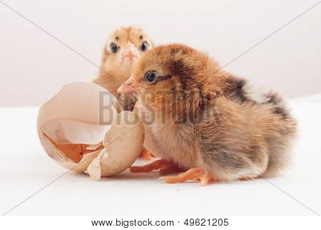 Newly hatched chick