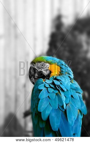 Beautiful Blue and Gold Macaw - Parrot Portrait 6 B&W BG
