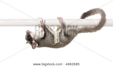 sugar glider - Petaurus breviceps in front of a white background poster