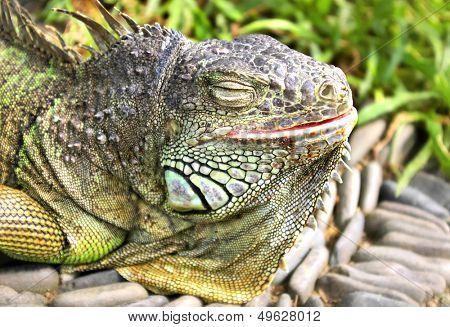 iguana basking on the sun