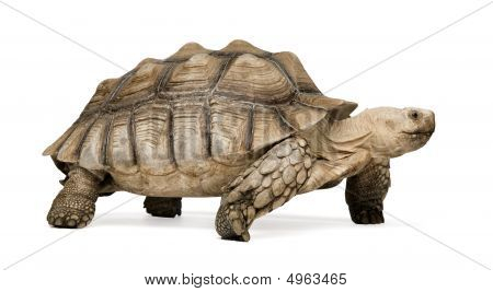 African Spurred Tortoise also know as African Spur Thigh Tortoise - Geochelone sulcata in front of a white background poster