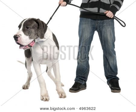 Great Dane Puppy On A Leash (6 Months Old)