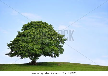 Sycamore tree in full leaf in a field summer with a blue sky and clouds to the rear. poster