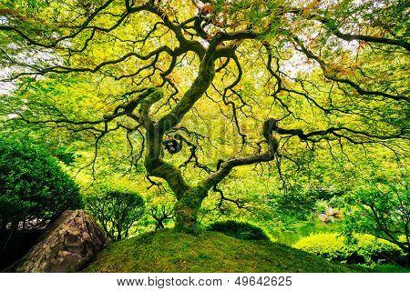 Amazing Green Japanese Maple Tree, Nature Garden