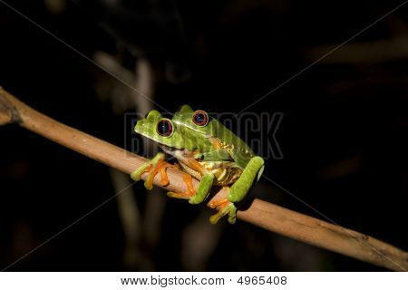 Pair of Red-eyed Leaf Frogs (Agalychnis callidryas) mating (amplexus) poster