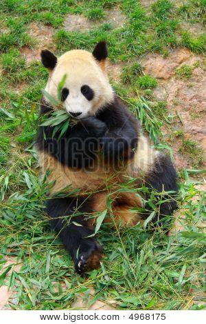 Endangered Animal  Giant Panda