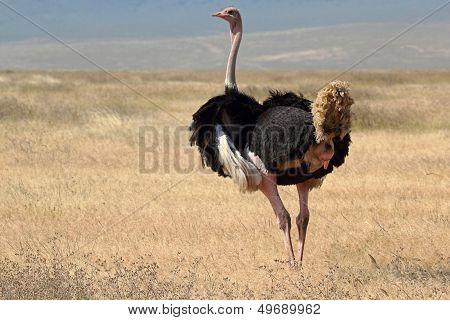 Male Ostrich Looking Around