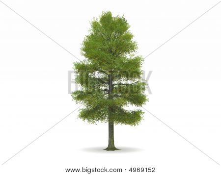 Lime Or Linden Tree With Green Leaves
