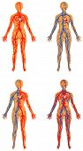 Human vascular system. Female - human circulatory system. Human bloodstream - arterial and venous systems poster