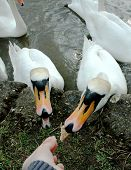 Two swans trying to get the same piece of bread poster