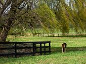 horse grazing under the shade of a weeping willow tree poster