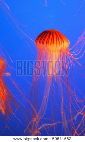 Yellow-orange jellyfish with thin feelers. Aquarium with bright blue water