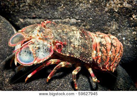 Shovel-nosed Lobster