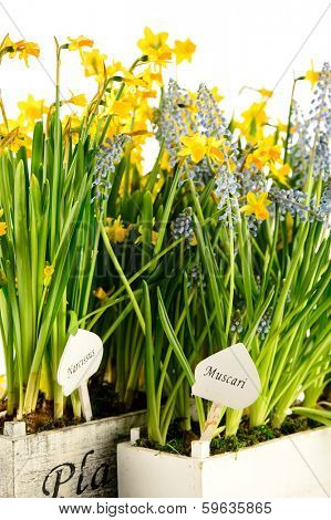 Grape hyacinth and narcissus spring potted flowers poster