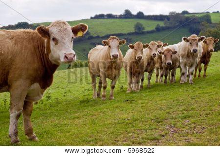 Young Herd