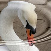 Swan close-up with water filter. poster