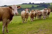 an image of a young herd of calves looking curiously towards you with a rural background poster