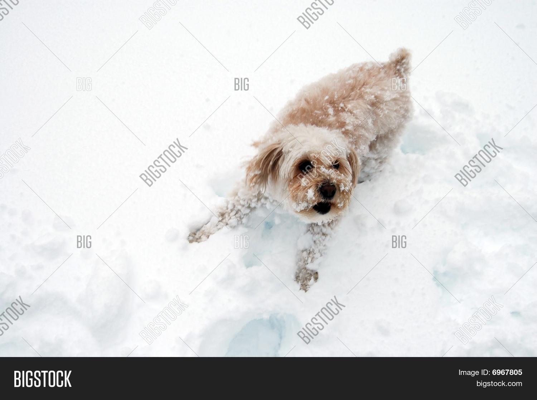 Snow Puppy Barks Image Photo Free Trial Bigstock