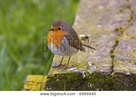 Male European Robin waits his dear spouse poster