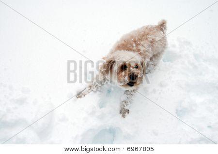 Snow Puppy Barks