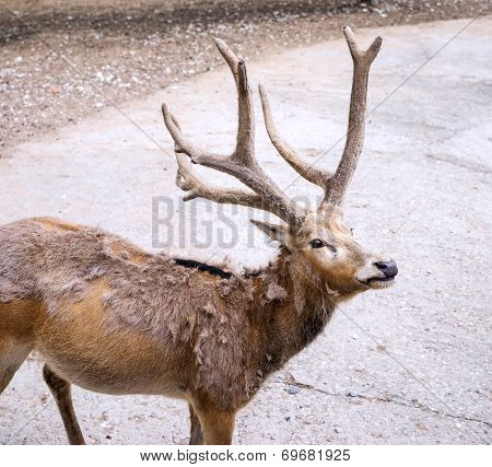 Old Deer In Aviary