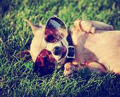 a cute chihuahua with aviator sunglasses on toned with a retro vintage instagram filter  poster