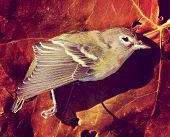 a dead bird on a autumn leaf toned with a retro vintage instagram filter  poster
