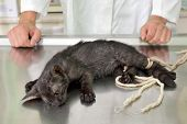 Animal surgery cat under anesthesia veterinary prepare it for operation poster