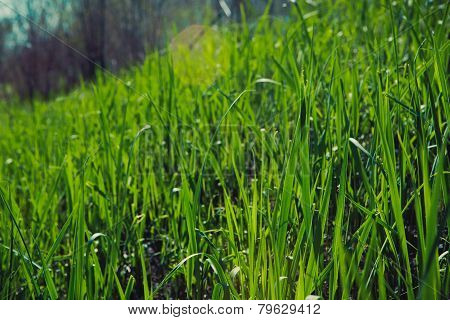 Grass Background Closeup Photo