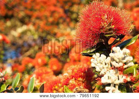 Pohutukawa flower closeup, selective focus, metrosideros excelsa. The New Zealand Christmas Tree.