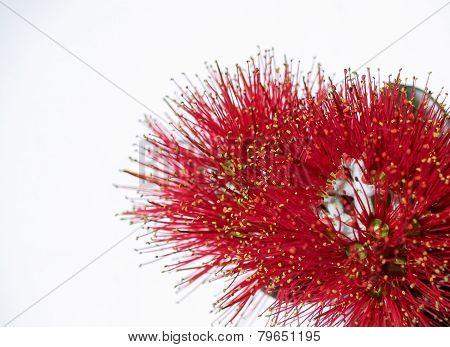 Pohutukawa flower closeup isolated on white, metrosideros excelsa.