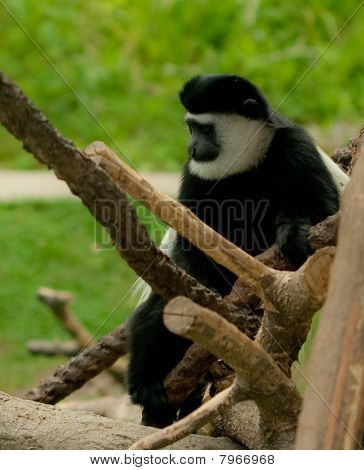 Black and White Colobus Monkey 2