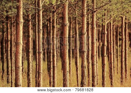 Pinewood forest. Trunks background.