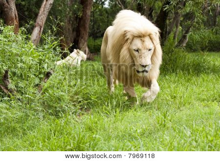 Young Lion Walking Through Grassland