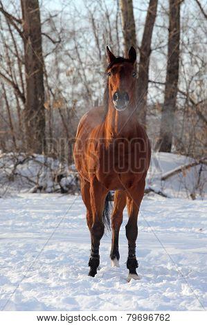 Quarter horse in the winter stud farm
