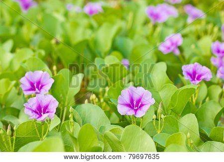 Goat's Foot Creeper or Beach Morning Glory (Scientific Name : Ipomoea Pes-caprae) poster