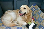 Golden retriever lying on his bed in the car ready to travel. poster