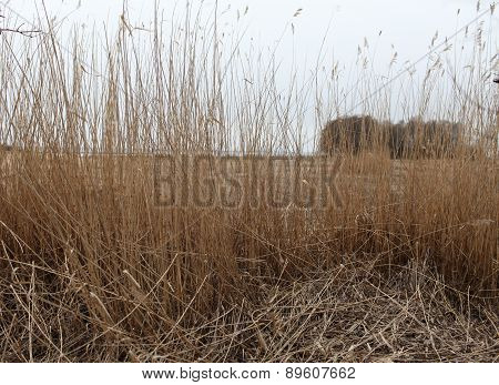 Dry reeds in the wind