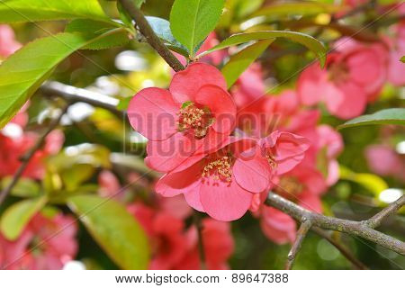 Japanese quince (Chaenomeles japonica) flowers