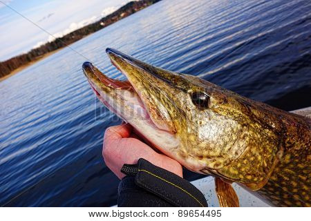 Hand holding large pike in a Finnish lake