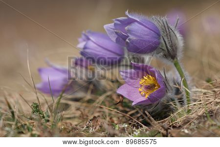 Spring Flower Pasqueflower- Pulsatilla Grandis On Meadow