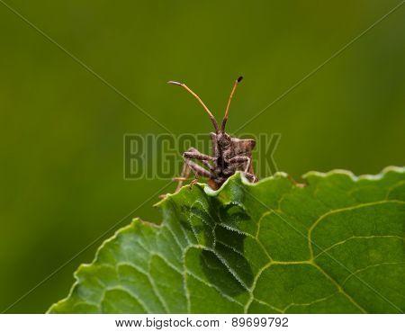 Squash Bug Sitting On Sorrel Leaf