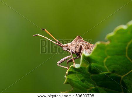 Dock Bug Portrait On Sorrel Leaf