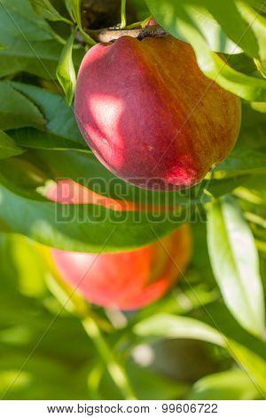 Sweet Peach Fruit Growing On A Peach Tree Branch.