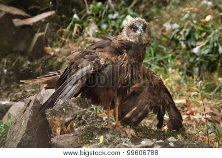 Western marsh harrier (Circus aeruginosus), also known as the Eurasian marsh harrier. Wild life animal.