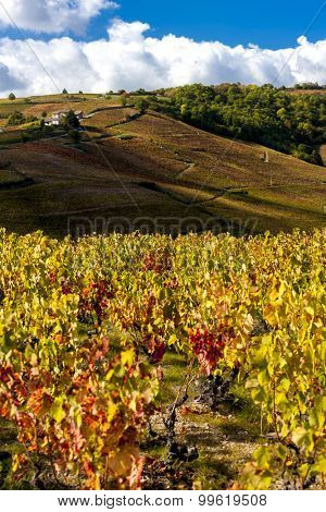 grand cru vineyards near Fleurie in Beaujolais, Rhone-Alpes, France